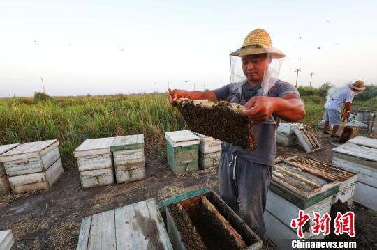 新疆塔河畔野生罗布麻花盛开 蜂农放蜂取蜜忙