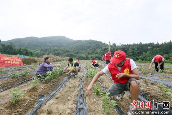 """在融安县泗顶镇寿局村龙骨屯产业地里,广西科技大学""""三下乡""""学生们正在帮助贫困户除草。韦荣军 摄"""