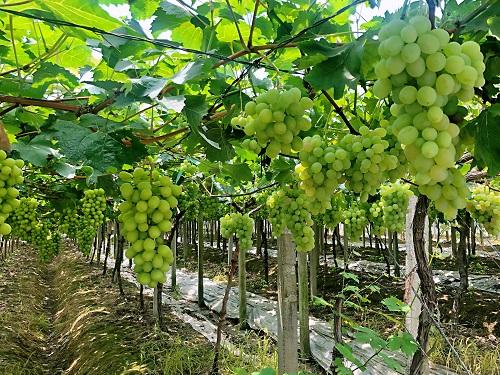 图为临山葡萄种植基地内葡萄 单聪 摄