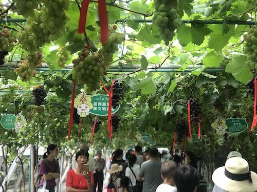 图为游客在葡萄园观光浏览 江杨烨