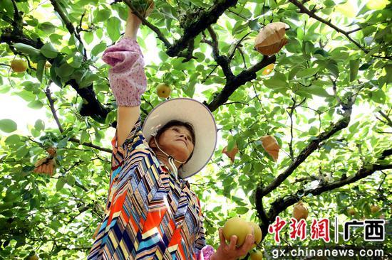 果农正在采摘青花梨。朱柳融 摄
