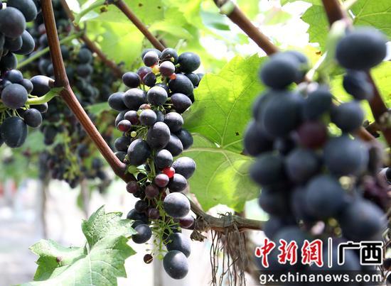 成熟的波尔多瓦葡萄。朱柳融 摄