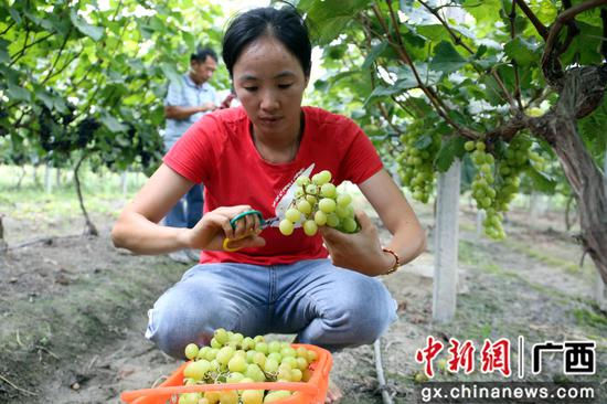 果农在果园里采摘葡萄。朱柳融 摄