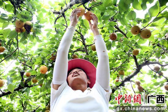 周欣勤正在采摘青花梨。朱柳融 摄