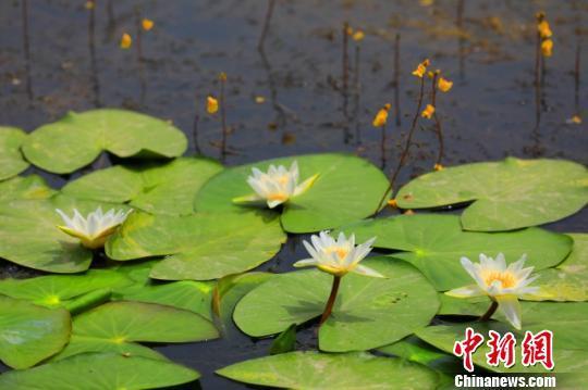 賞睡蓮看水鳥 七月新疆博斯騰湖風光正好