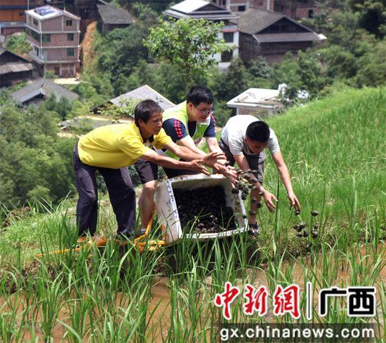 滚荣清和大浪镇高培村第一书记潘朔练帮助贫困户发放田螺。