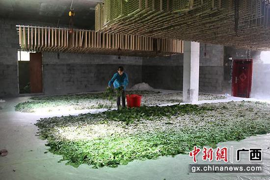 图为陈凤玲正在喂蚕。林远先 摄