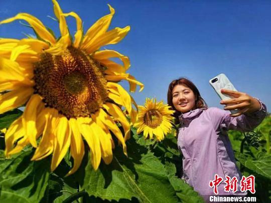"""新疆巴里坤万亩葵花绽放 农旅""""融""""出美丽田野"""
