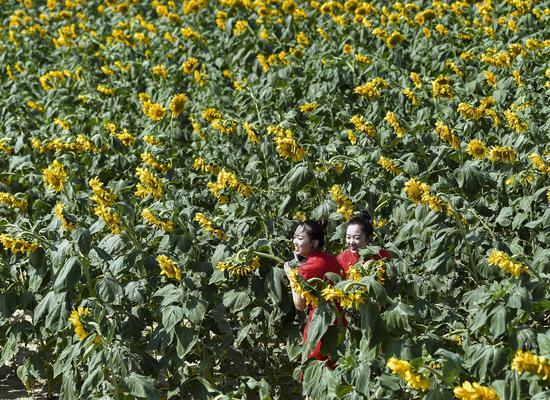 福海縣舉辦萬畝葵花攝影大賽暨優質農產品推介活動
