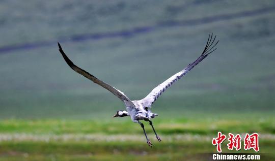 上千只灰鹤在巴音布鲁克草原湿地嬉戏飞舞繁衍