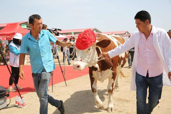 新疆新和縣辦賽牛大會 體格身高是關鍵顏值還要好