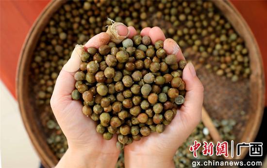 8月16日,广西柳州市融安县东起乡良村村芡实种植户在展示刚刚采收的芡实。谭凯兴 摄