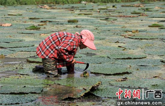 8月16日,广西柳州市融安县东起乡良村村芡实种植户在采收芡实。谭凯兴 摄