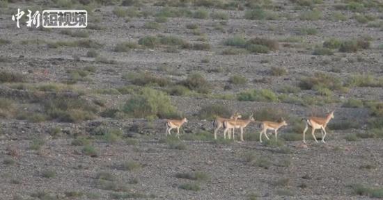 新疆南部现成群鹅喉羚山涧漫步