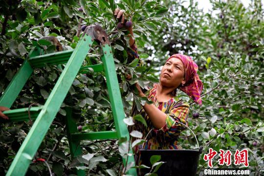 """""""金瓜银果""""为媒 新疆伽师打造高质量特色农产品扶贫"""