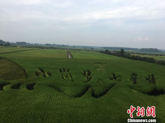 图为500亩规模化水稻种植区。 赵强 摄