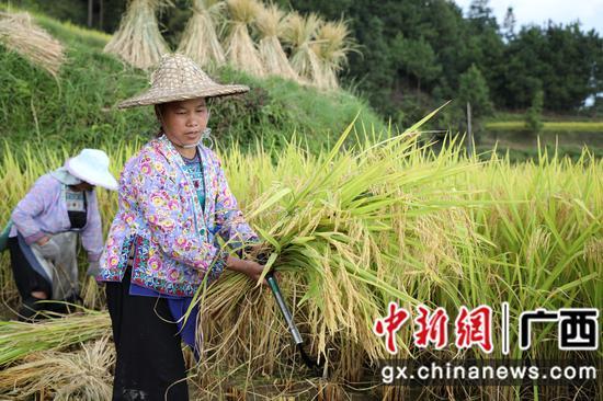 """广西融水生态稻米成农户增收 """"脱贫米"""""""