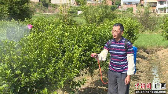 甘爱生在自家的柑橘地里喷洒农药。