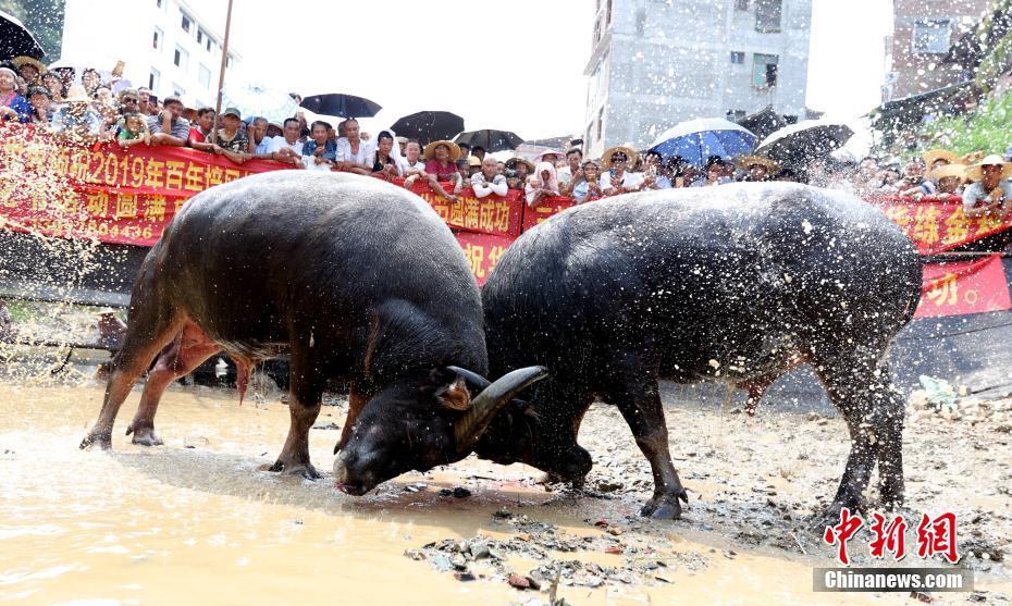 广西侗族民众斗牛庆丰收