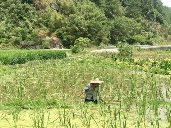 种粮大户叶友仁在茭白田里忙活。 刘方齐 摄