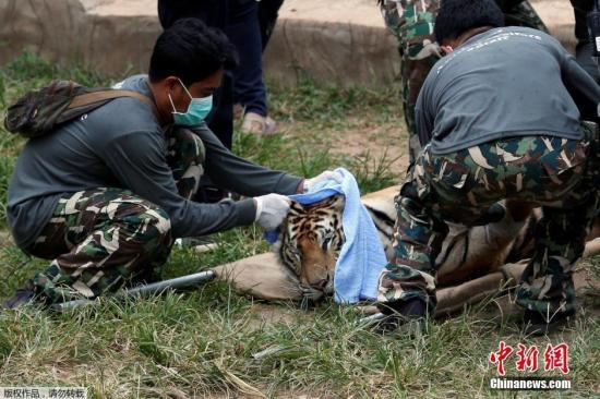 泰寺庙为牟利让老虎近亲繁殖 147头老虎死亡过半