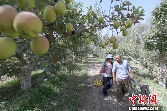 天山南麓新疆尉犁县逾两万亩香�@��真是�明梨采摘