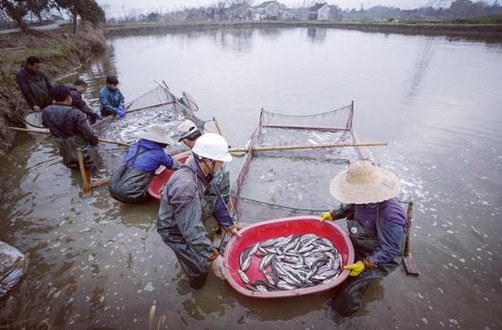 南浔渔民获得大丰收 李则名 摄