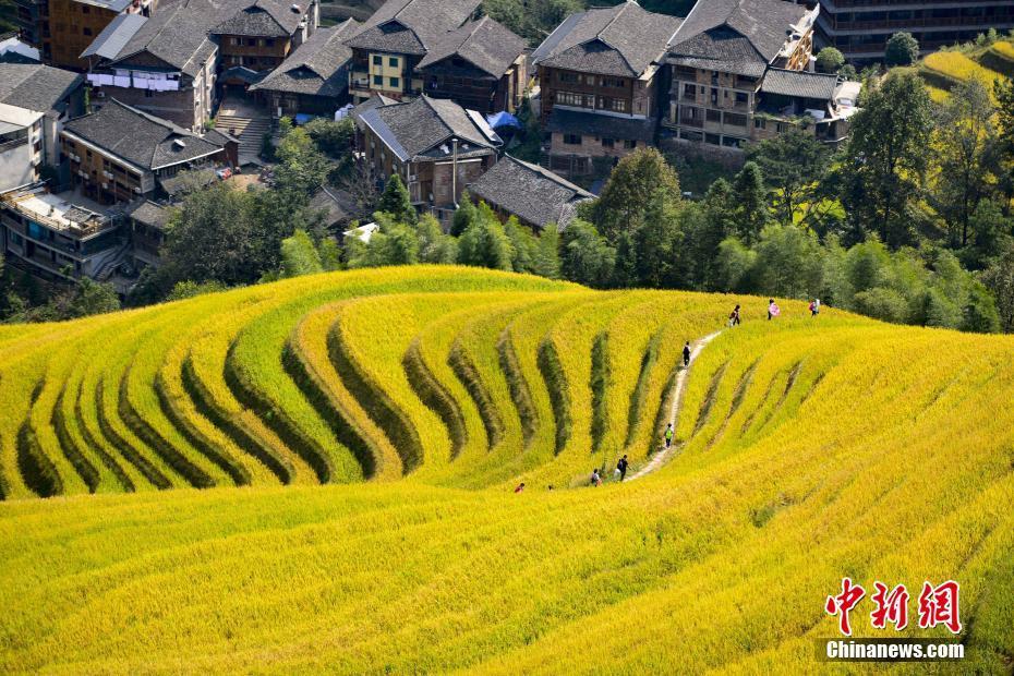 廣西金秋龍脊梯田稻谷成熟 吸引眾多游客旅游觀光