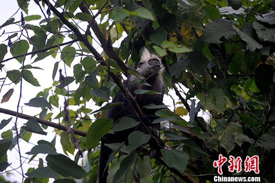 """在广西崇左市白头叶猴国家级自然保护区内,有一群为保护白头叶猴而坚守在荒野的科研人员和保护人员,过起了""""荒野人生""""。 图为保护区内的白头叶猴。(资料图片) 中新社记者 蒋雪林 摄"""