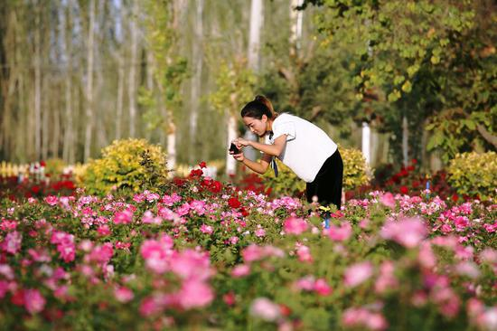 寒露时节 和硕县30万平方米花植竞相开放