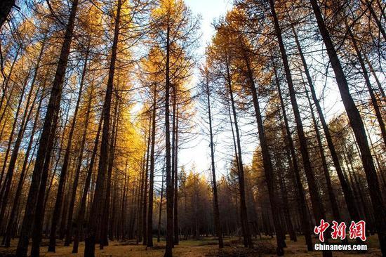 多彩秋韵 新疆东天山百万亩落叶松呈现金黄