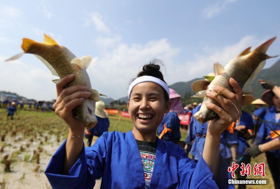 广西百余名侗族妇女赛抓鱼打谷庆祝丰收
