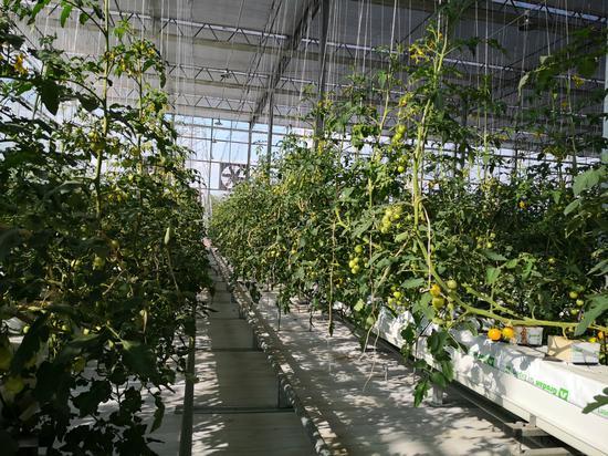 5G智慧农场内的大棚种植番茄。供图