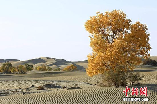 新疆塔里木河下游大漠胡杨展现迷人秋色