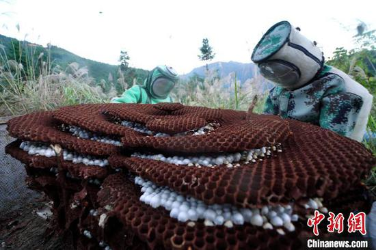 圖為蜂農在采收蜂蛹。 黃勇丹 攝