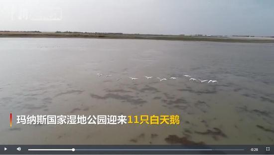 新疆玛纳斯湿地迎今年首批白天鹅 连续9年来此越冬