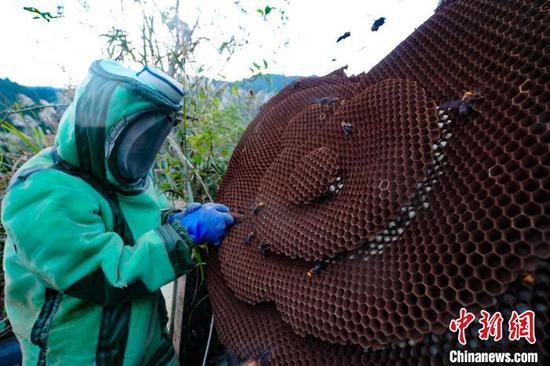 圖為蜂農在采收蜂蛹。黃勇丹 攝