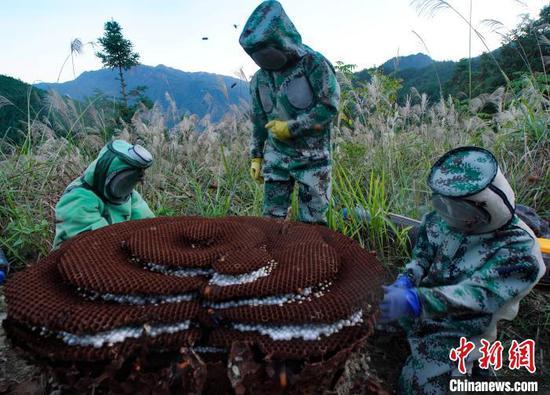 图为蜂农在采收蜂蛹。 黄勇丹 摄