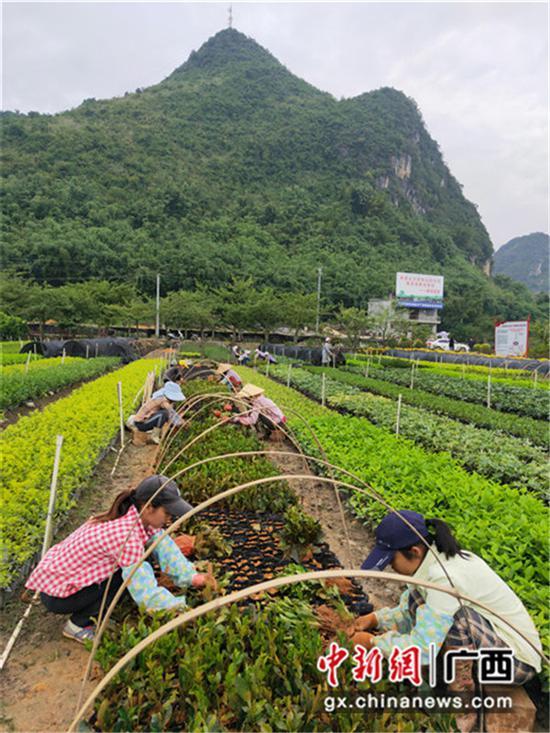 图为村民种植苗木