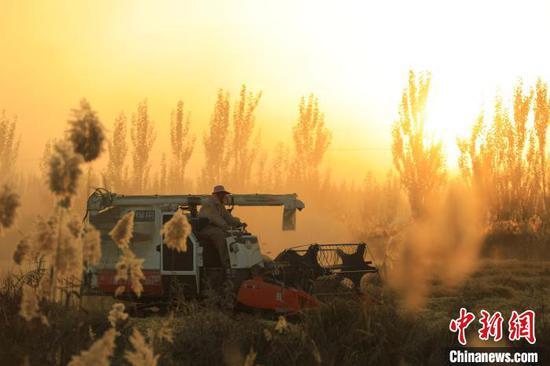 新疆博湖县乌兰再格森乡稻田里,当地群众正在抢收水稻。年磊 摄