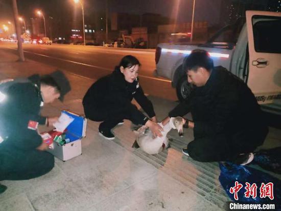 监察员对受伤天鹅进行救治。祖来古丽 摄