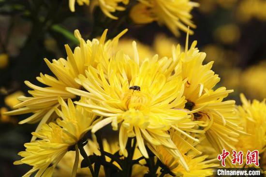 蜜蜂在花丛中采蜜。 韦露 摄