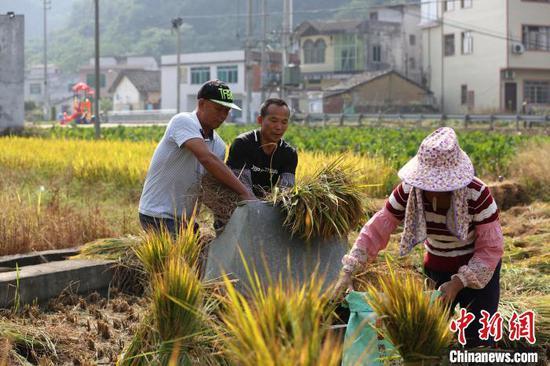 农民趁着晴好天气打稻。 朱柳融 摄