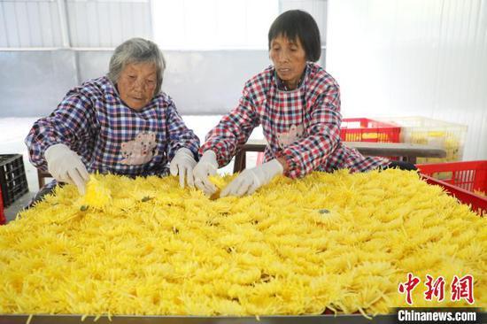 农民正在摆平菊花,方便烘干处理。 韦露 摄
