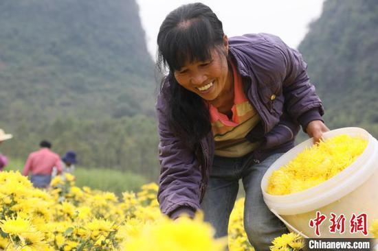 农民在采摘菊花。 韦露 摄