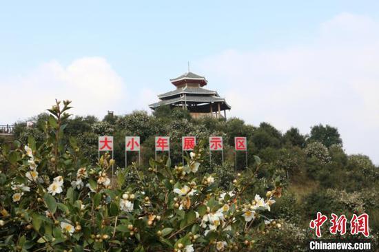 图为三江思欧村雨塘高产油茶林示范基地。 林馨 摄