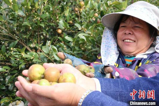 图为丰收的油茶果。 林馨 摄