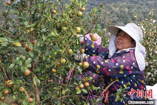 图为村民在采摘油茶果。 林馨 摄