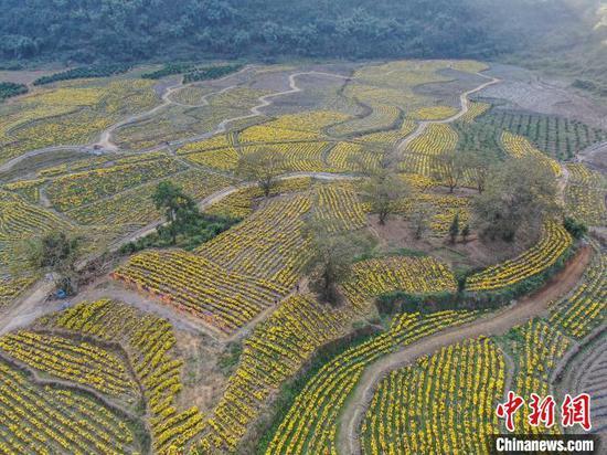山谷里盛放的金絲皇菊。 王以照 攝 盛放的花田吸引不少游客前來游玩。 王以照 攝
