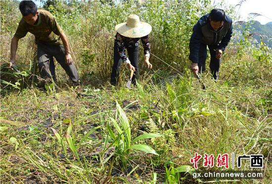 貧困戶在白芨種植基地里除草